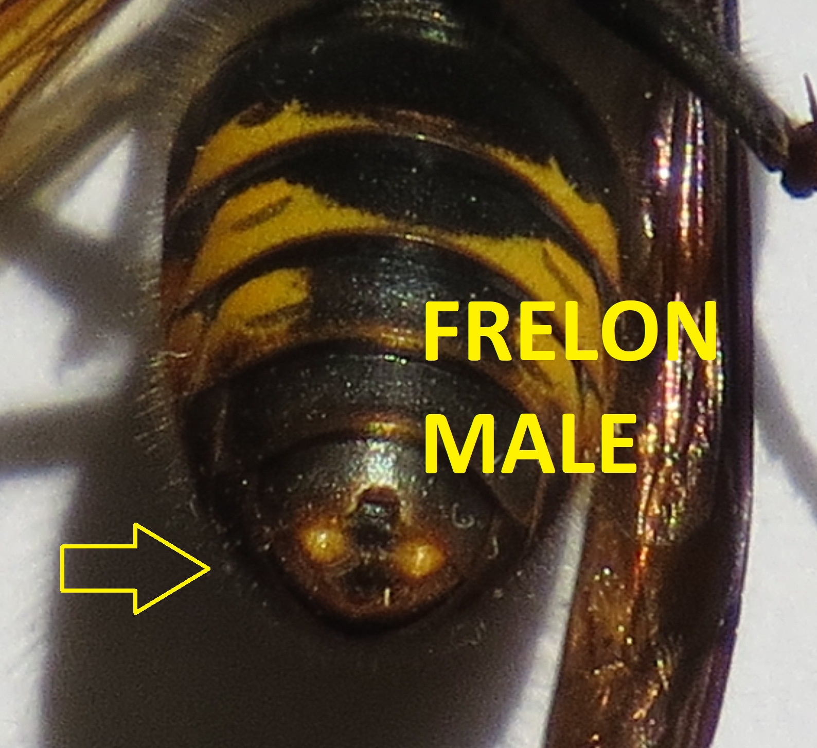 frelon asiatique male