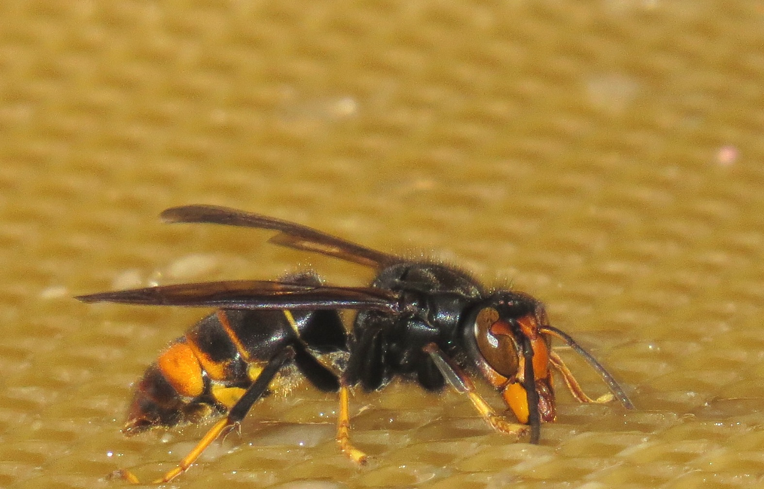 Asian hornet Great Britain